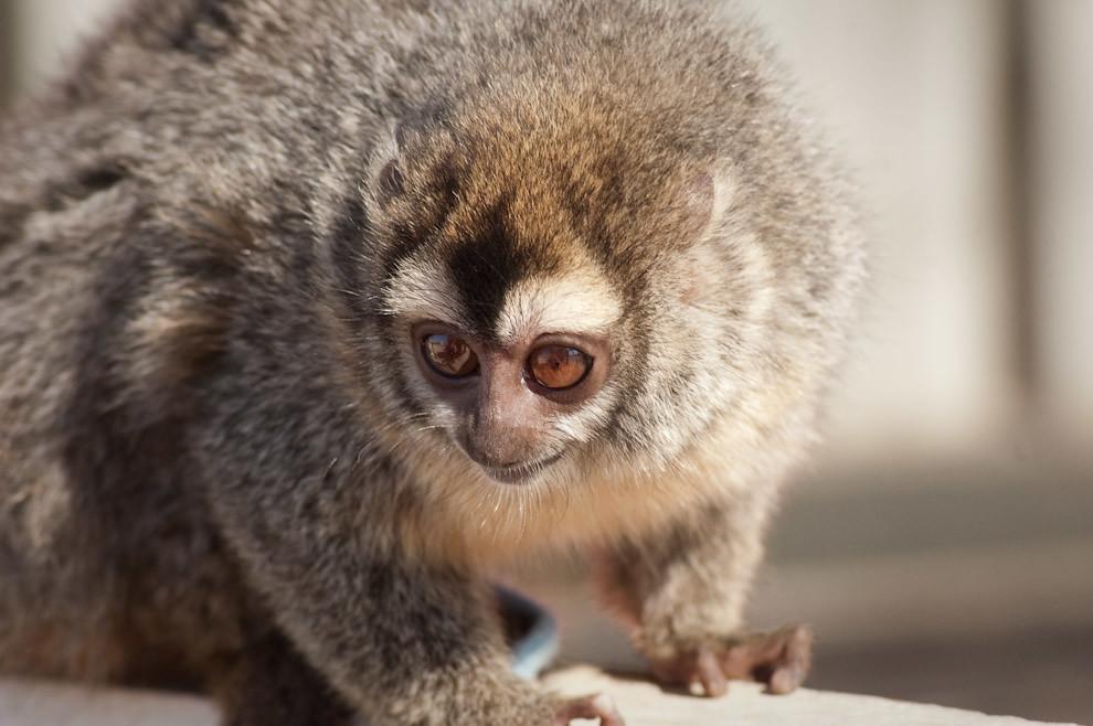 Un Mico Nocturno o Marteja es criado y mantenido por el dueño de un mini-zoológico en Cruce Pioneros (Elton Núñez - Cruce Pioneros, Paraguay)