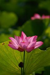 DSC_0213 (albertshaw2007) Tags: pink green flora lotus taiwan nikon200