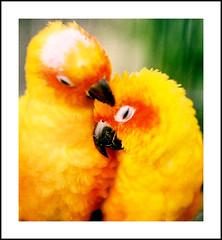 Bliss is this! (Furhan H!) Tags: pakistan red orange yellow couple satisfaction comfort bliss karachi parrots sindh naturesfinest sunconures picswithframes superaplus aplusphoto superhearts