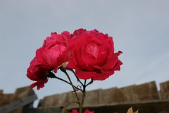 Rose - Canon EOS 400D