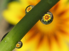 Nevena Uzurov - Yellow trio (Nevena Uzurov) Tags: light sun flower macro nature water rain canon garden petals waterdrop drop refraction droplet gazania priroda raindrop voda vojvodina    sremskamitrovica cvet srem gazaniarigens      nevenauzurov
