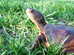 Myrtle Turtle (2) - by flattop341