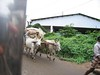 """Passing ox-drawn cart • <a style=""""font-size:0.8em;"""" href=""""http://www.flickr.com/photos/9310661@N04/856744143/"""" target=""""_blank"""">View on Flickr</a>"""