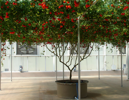 Giant Gravity-Free Tomato Tree