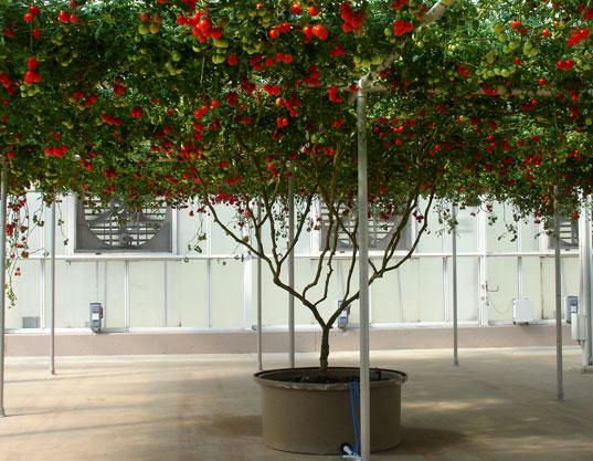 Giant Gravity-Free Tomato Tree