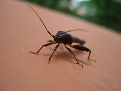 Mega Bichito (Jakalito) Tags: macro bug flying backyard patio bicho volador