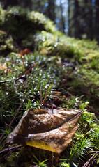 (Smiling) leaf (Im Regen) Tags: leica forest leaf moss dlux kimekerstad