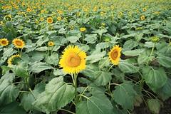 (kamonegi_jp) Tags: plants flower eos 5d sigma1224mm