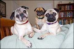 Family Portrait ([Christine]) Tags: cute dogs bed trio pugs 1000v40f abigfave impressedbeauty fiveflickrfavs explore0805072