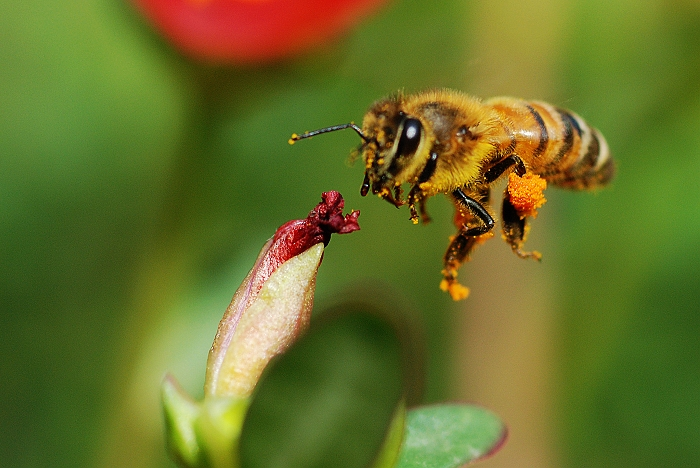 蜜蜂0037