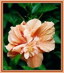 Peach Hibiscus - 2