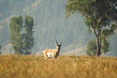 Pronghorn (tomassvaton) Tags: park national grandteton jacksonhole pronghorn mormonrow mormonbarn anthelopeplain