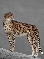 looking something??    (ALQABBANI) Tags: animals canon eos for looking cheetah jaguar hes something ih 40d mywinners canoneos40d goldstaraward mothernaturesbest
