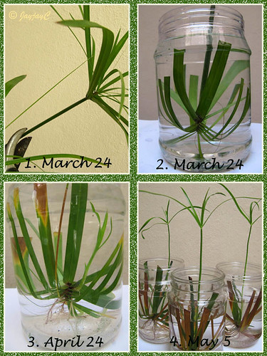 Propagating Cyperus involucratus by inverting tip cutting in a bottle of water