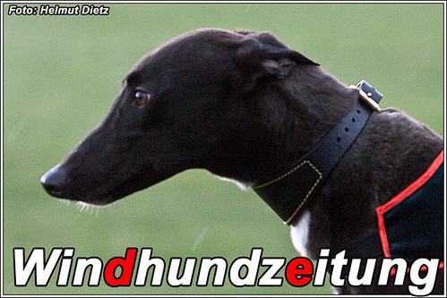 Greyhound Joes-Noble - Windhundrennen - Rennhund - Windhundzeitung.de