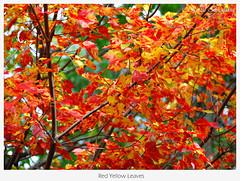 Red & Yellow Leaves (Renal Bhalakia) Tags: red tree fall leaves yellow boston season ma nikon18200mmvr nikond80 renalbhalakia