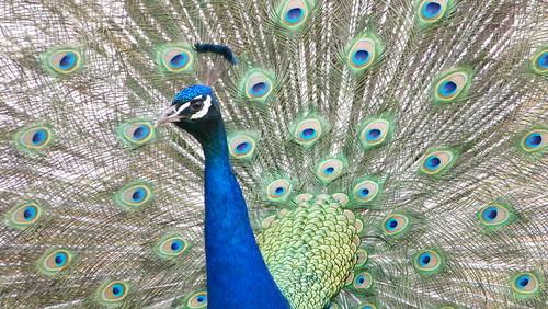 peacock-original