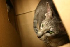 Please take me home. (EyeSeeTheWorld) Tags: pet cute cat grey eyes kitten orientalshorthair box homeless adorable whiskers cardboard oriental