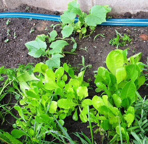 061610_lettuce_cucumbers