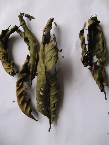 Kratom  Bogus kratom leaves from Borneo picture photo bild
