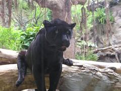 BLACK JAGUAR (Owlet2007) Tags: black animal cat tenerife jaguar puertodelacruz loroparque flickrbigcats