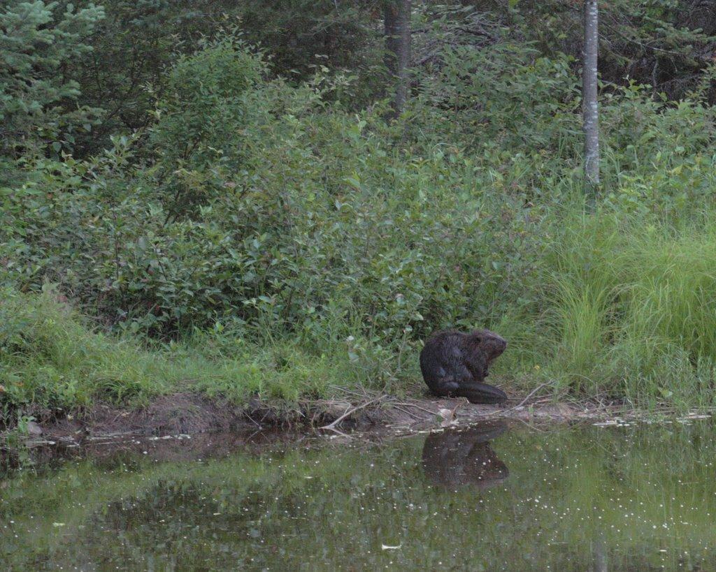 beaver shot #1