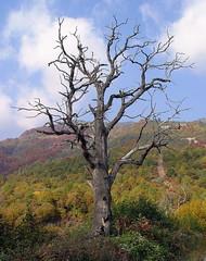 Panagitsa Kaimaktsalan / Παναγίτσα Καϊμακτσαλάν - A Tree (Zopidis Lefteris) Tags: tree hellas greece allrightsreserved kaimaktsalan ellas ellada sonydsc717 lefteris ελλάδα eleftherios ελλάδα ελλάσ ελλαδα panagitsa zop ελλάσ φωτογραφία δέντρο λευτέρησ zopidis zopidislefteris ζωπίδησ δένδρο λευτερησ χωριόπαναγίτσα καιμακτσαλάν νπέλλησ leyteris ζωπιδησ ελευθέριοσ ζωπίδησλευτέρησ φωτογραφίεσ παναγίτσα λεφτέρησ ζοπ ζωπ photographerczopidislefteris φωτογράφοσcζωπίδησλευτέρησ heliographygroup heliographygroupmember photographerzopidislefteris φωτογράφοσζωπίδησλευτέρησ photographerzopidislefterisc φωτογράφοσζωπίδησλευτέρησc λευθέρησ allphotosarecopyrightedbyzopidislefteris φωτογραφοσζωπιδησλευτερησ τοcopyrightολωντωνφωτογραφιωνανηκειστονζωπιδηλευτερη απαγορευεταιηχρησητωνφωτογραφιωνχωριστηναδειατουδημιουργου