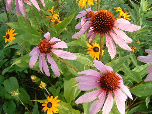 coneflowers or echinacea