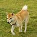 秋田犬:秋田犬
