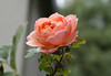 Peach Rose (geckoam) Tags: flowers roses flower nature rose garden botanical petals petal bloom rosegarden peachrose peachflower