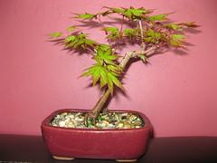 japanese maple (cskk) Tags: japanese maple bonsai acerpalmatum