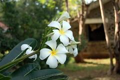 Chafa (Gauravb) Tags: india flower d50 nikon sos nikkor pune chafa soschildrensvillage yerwada चाफा 1855ed बालग्राम saveoursoul balagrampune balagram drhermanngmeiner devchafa pandharachafa