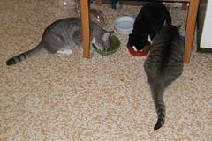 Three Cats Afeeding