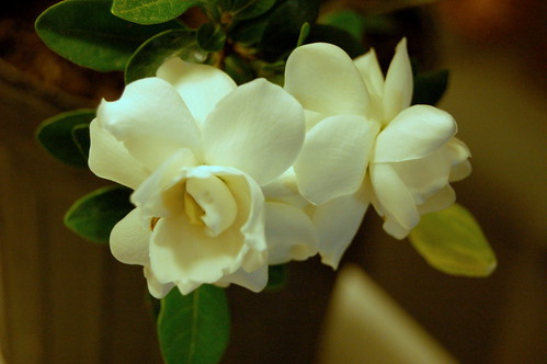 gardenia...