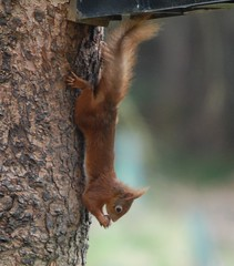 All this for a nut (dave millers photos) Tags: red yorkshire north squirel snaizeholme