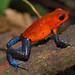 Strawberry poison arrow frog (Oophaga pumilio).Costa Rica.