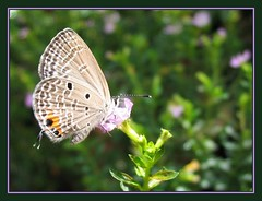 Cycad Blue Butterfly resting on Mexican Heather