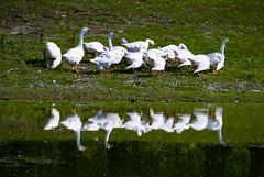 Beautiful Danube 7 (Crew) (Miodrag mitja Bogdanovic) Tags: green bird nature water grass birds river landscape geese dam serbia goose coolest danube birdbrained bac donau srbija mitja dunav miodrag bogdanovic abigfave worldthroughlens worldthroughlenscom beautifuldanube