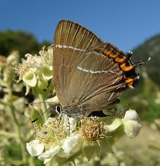 White-letter Hairstreak - Satyrium w-album (Camerar) Tags: butterfly blues insects greece buttterflies hairstreaks satyriumwalbum whiteletterhairstreak