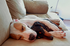 the kids (Carrie Taylor) Tags: dog dogs freeassociation puppy lucy interestingness priceless spooning spoon dachshund pitbull snoopy americanstaffordshireterrier carrietaylor abigfave anawesomeshot impressedbeauty goldenphotographer interestingness724075 yesmydogsareonthecouch