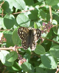 Speckled wood (Epi Flavio) Tags: wood butterfly mariposa speckled vlinder parargeaegeria