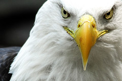 Eagle (Nikographer [Jon]) Tags: bird look birds animal animals wow zoo washingtondc smithsonian dc washington lenstagged eyes nikon eagle baldeagle bald negativespace crop stare april nationalzoo d200 samantha nikkor haliaeetusleucocephalus fonz apr washdc 2007 redux zoobest haliaeetus leucocephalus naturesfinest 80400mmf4556dvr natlzoo nikond200 nikographer usnationalzoo fav12007 20070429d20073837 nikographerjon jss20081