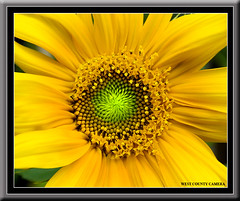 Volunteer Sunflower* (West County Camera) Tags: wow1 wow2 wow3 wow4 wow5 macroflowerlovers mimamorflowers flickrflorescloseupmacros panoramafotogrfico thebestofmimamorsgroups mygearandmepremium mygearandmebronze mygearandmesilver mygearandmegold rememberthatmomentlevel1 rememberthatmomentlevel2 rememberthatmomentlevel3