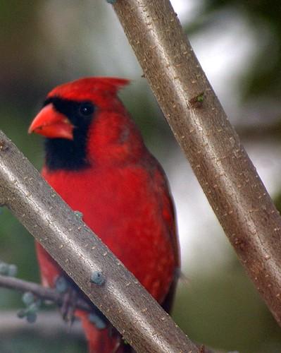 Cardinal closeup