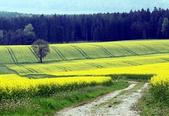 (:Linda:) Tags: tree field yellow landscape blossom path curvy gelb curve raps baum canola rapeseed kurve kurvig treesinspring bumeimfrhling baumimfrhling