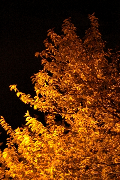 05-09-2010_sodium_illuminated_tree_rs