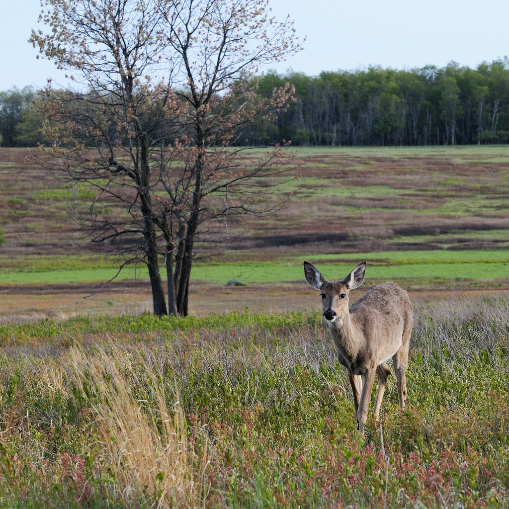 White Tailed Deer at Big Meadows