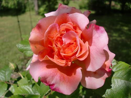 rose rose 2010-06-11