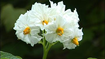 potato plant in flower