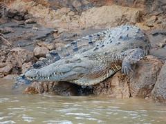 American crocodile (Crocodylus acutus). Costa Rica (Sky and Yak) Tags: nature danger river costarica wildlife teeth american crocodile centralamerica crocodylus acutus reptilesandamphibians